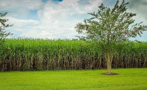 Cultivo tierras caña de azúcar